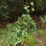 山道でよく見られるサルトリイバラ(ユリ科)。 根茎が神経痛、リュウマチ、糖尿病に煎じて用いられます。