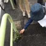 都内の街路でのさりげない発見。これは、天然更新のエノキの稚樹です。