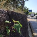 関西の石垣でよくみられるアカメガシワ