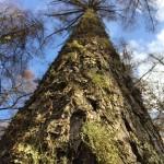 高標高のカラマツの樹皮に付着する様々な地衣類